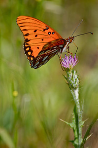 Bright, orange butterfly [Gulf Fritillary] on a thistle