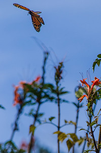 Monarch flying away from flowers