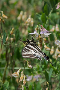 Swallowtail butterfly feeding on a wildflower