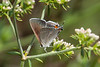 Common Hairstreak