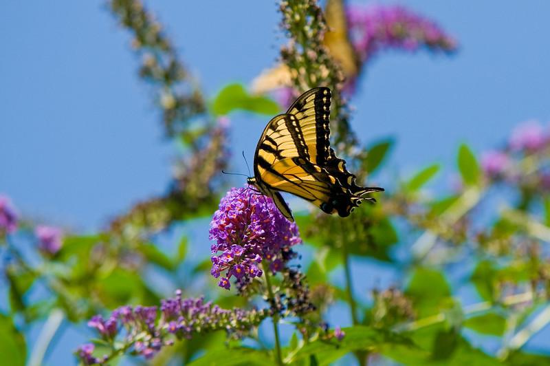 100718-Butterfly-011
