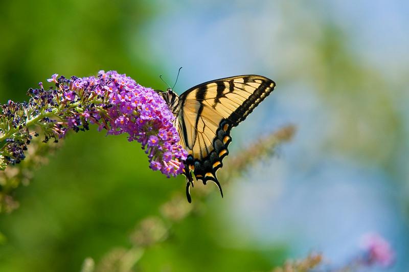 100718-Butterfly-014