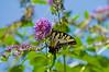 100718-Butterfly-010