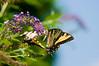 100718-Butterfly-016