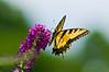 100718-Butterfly-002