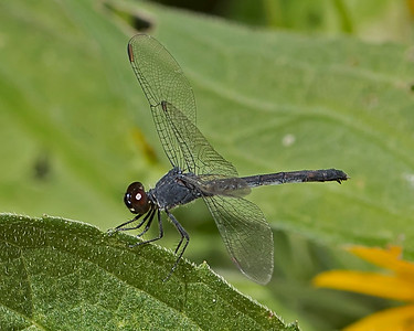Blue Skimmer Dragonfly