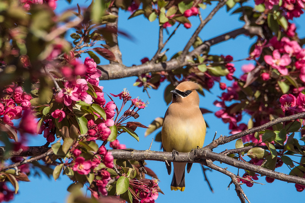 """ANIMALS BY AIR 8155<br /> <br /> """"Apple Tree Waxwing"""""""