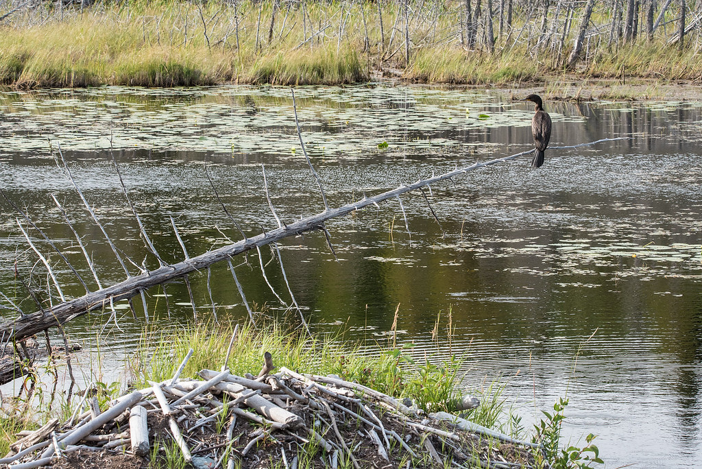 """ANIMALS BY AIR 8841<br /> <br /> """"Little Lake Cormorant""""<br /> <br /> Grand Portage, MN"""