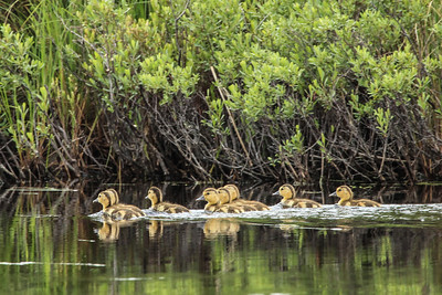 "ANIMALS BY AIR 4878  ""Ducklings on Elbow Lake""  Gunflint Trail, MN"