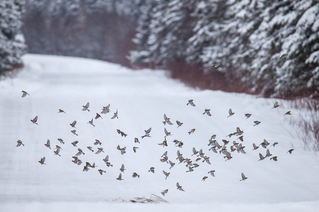 "ANIMALS BY AIR 1837<br /> <br /> ""Siskins and Redpolls""<br /> <br /> A flock of Pine Siskins and Redpolls landing on some sandy/salty snow that fell off a passing vehicle on Old Highway 61 in Grand Portage, MN."