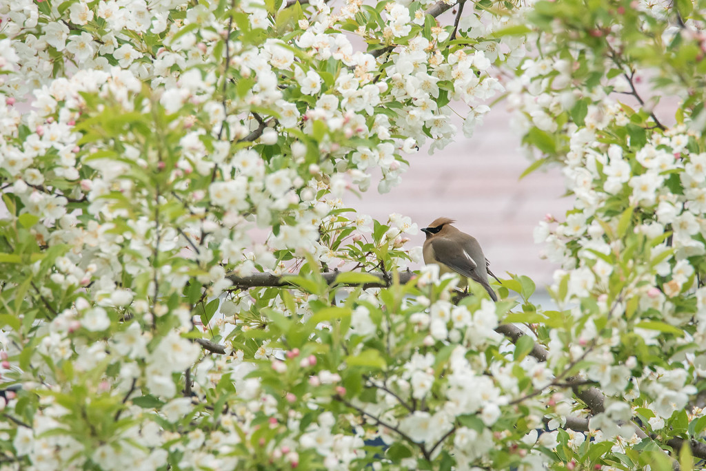 """ANIMALS BY AIR 5941<br /> <br /> """"Waxwings in our flowering crab tree!"""""""