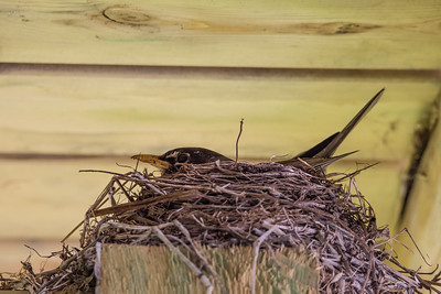 "ANIMALS BY AIR 8084  ""Robin Nest"""