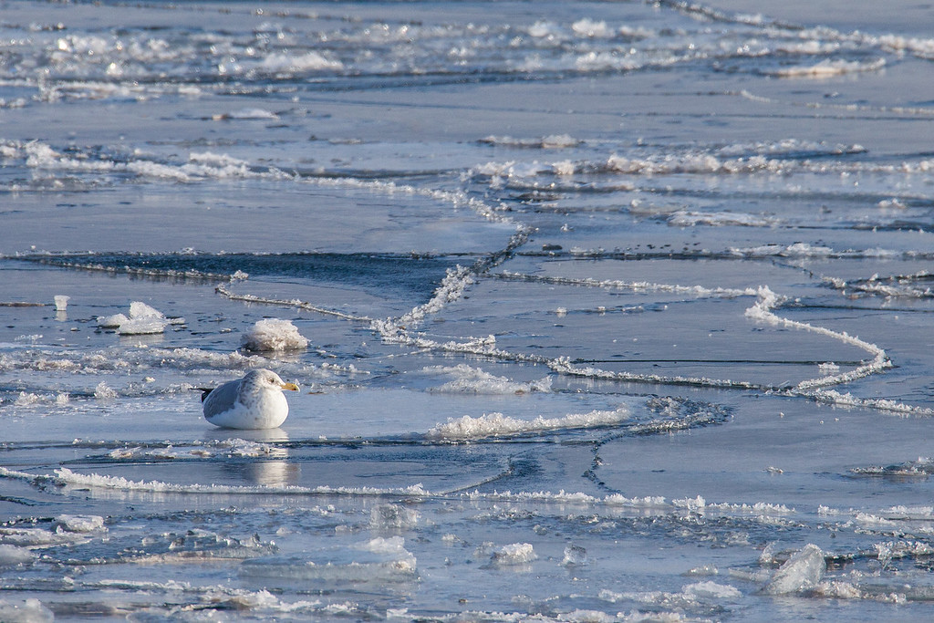 "ANIMALS BY AIR 1055<br /> <br /> ""Resting on the ice""<br /> <br /> A gull resting on the harbor ice in Grand Marais, MN."