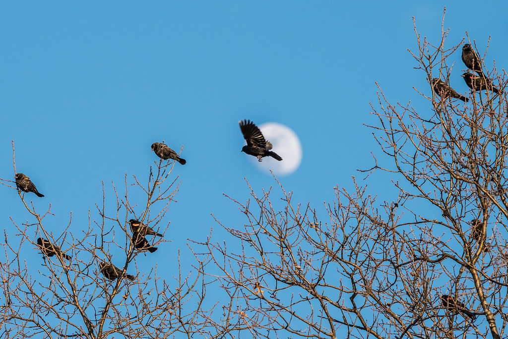 "ANIMALS BY AIR 7312<br /> <br /> ""Blackbird Moon""<br /> <br /> Crex Meadows Wildlife Area - Grantsburg, WI"