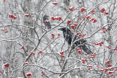 """Ravens and Mountain Ash berries"""