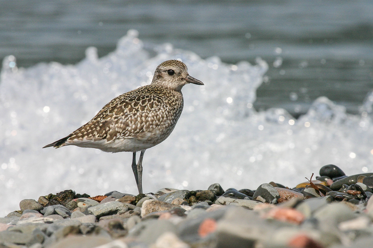 """ANIMALS BY AIR 5982<br /> <br /> """"Pete's Island Plover""""<br /> <br /> American Golden Plover on Pete's Island in Grand Portage, MN"""