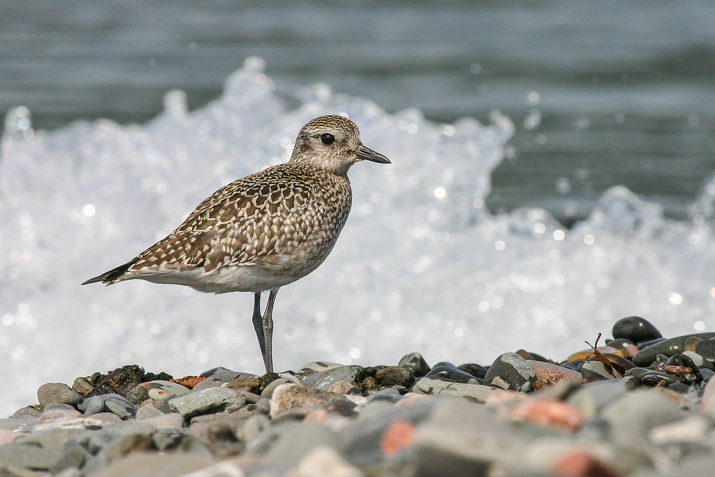 "ANIMALS BY AIR 5982<br /> <br /> ""Pete's Island Plover""<br /> <br /> American Golden Plover on Pete's Island in Grand Portage, MN"