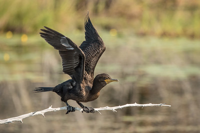 "ANIMALS BY AIR 8696  ""Little Lake Cormorant""  Grand Portage, MN"