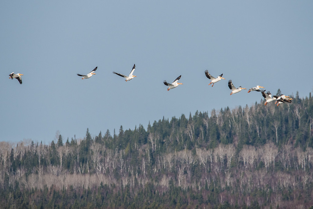 """ANIMALS BY AIR 4543<br /> <br /> """"Pelicans over Grand Portage Bay""""<br /> <br /> Grand Portage, MN - May 2, 2015"""