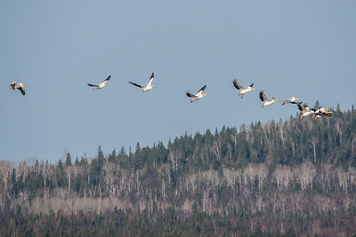 "ANIMALS BY AIR 4543  ""Pelicans over Grand Portage Bay""  Grand Portage, MN - May 2, 2015"