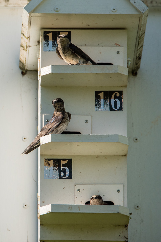 """ANIMALS BY AIR 8011<br /> <br /> """"Purple Martin Condo""""<br /> <br /> Cuyuna Country State Recreation Area, MN"""