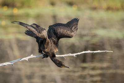 "ANIMALS BY AIR 8694  ""Little Lake Cormorant""  Grand Portage, MN"