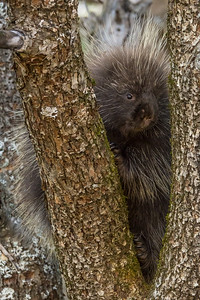 "ANIMALS BY LAND 03061  ""Cute Little Porcupine"""