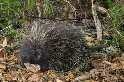 "ANIMALS BY LAND 03096  ""Cute Little Porcupine"""