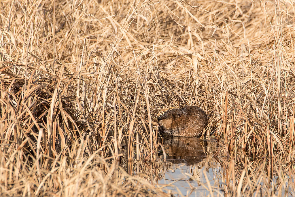 "ANIMALS BY LAND 7225<br /> <br /> ""Little Muskrat""<br /> <br /> Crex Meadows Wildlife Area - Grantsburg, WI"