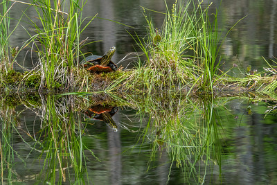 "ANIMALS BY LAND 04769  ""Painted Turtle enjoying the sunshine!""  Grand Portage, MN"