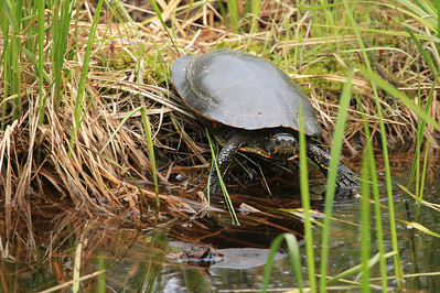 "ANIMALS BY LAND 0899  ""Painted Turtle""  Grand Portage, MN"