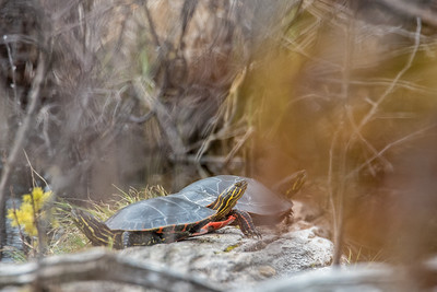 "ANIMALS BY LAND 4997  ""Painted Turtles near North Fowl Lake""  Ontario, Canada"