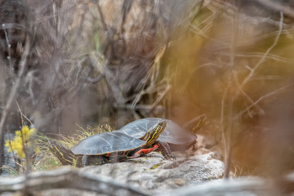 """ANIMALS BY LAND 4997<br /> <br /> """"Painted Turtles near North Fowl Lake""""<br /> <br /> Ontario, Canada"""