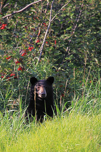 ANIMALS BY LAND 9607  Black Bear on the banks of the Pigeon River  Grand Portage, MN