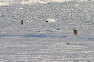 ANIMALS BY LAND 5634  Coyotes on the Lake Superior ice near Tamarack Point  Grand Portage, MN