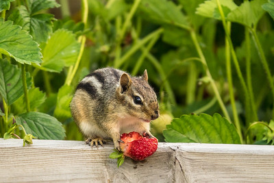 "ANIMALS BY LAND 05050  ""Strawberry Thief""  The little chipmunk that likes to raid our strawberry bed :-)"