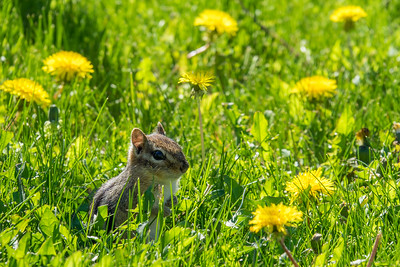 "ANIMALS BY LAND 04513  ""Backyard Chipmunk"""