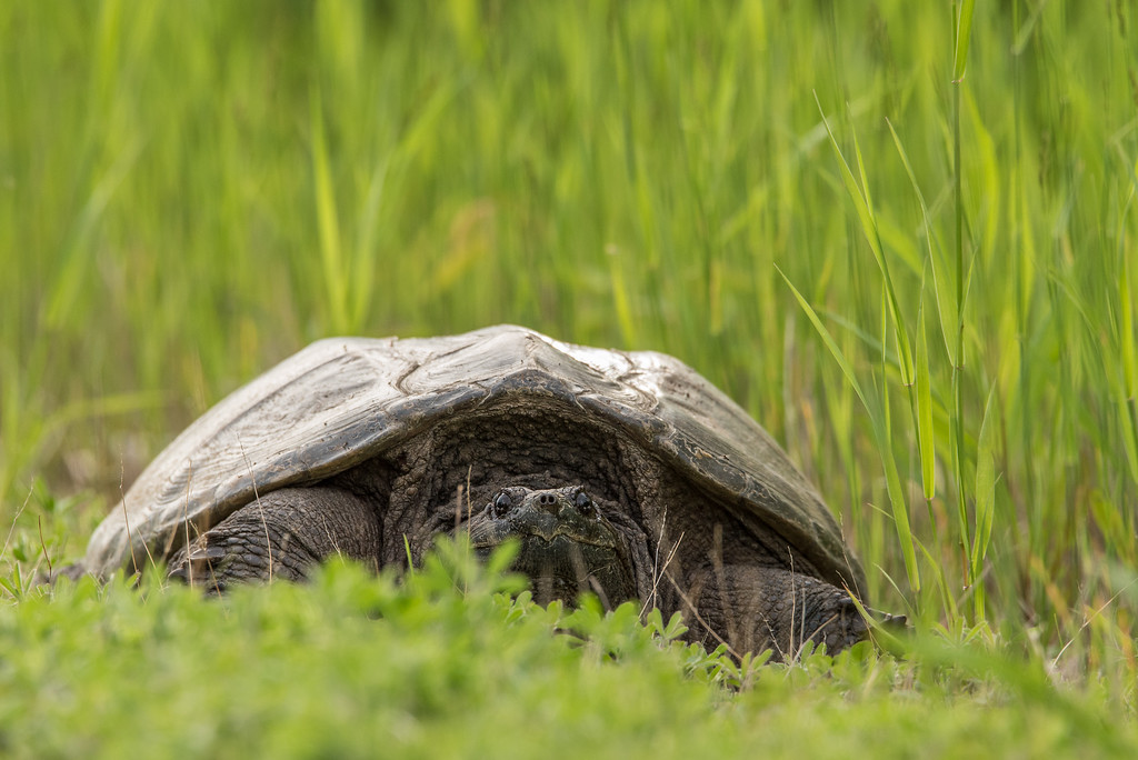 """ANIMALS BY LAND 8195<br /> <br /> """"Pigeon River Snapping Turtle""""<br /> <br /> Ontario, Canada"""