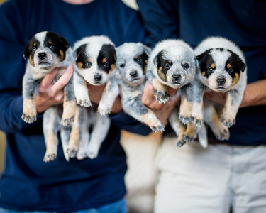 CAMELOT ACD Puppies 2017.08
