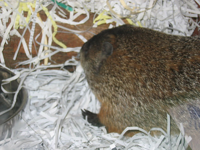 CHUCKLES, CT's Official Groundhog