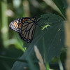 First monarch on some sumpweed.