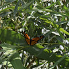 Viceroy in the willow tree.