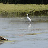 Great Egret hunting in the low water.