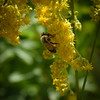 Bees do like goldenrod.  A few plants here.
