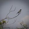 Olive Sided Flycatcher.