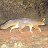 A gray fox is photographed by one of forty motion-activated cameras that were set up on undeveloped land west of Boulder and around Lyons in late September and early October. The cameras are part of a larger study of bobcats in the area by Jesse Lewis, a doctoral student at Colorado State University. Lewis said the cameras have already captured thousands of photos.
