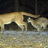 Two mountain lions were photographed by one of forty motion-activated cameras that were set up on undeveloped land west of Boulder and around Lyons in late September and early October. The cameras are part of a larger study of bobcats in the area by Jesse Lewis, a doctoral student at Colorado State University. Lewis said the cameras have already captured thousands of photos.