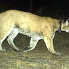 A mountain lion is photographed by one of forty motion-activated cameras that were set up on undeveloped land west of Boulder and around Lyons in late September and early October. The cameras are part of a larger study of bobcats in the area by Jesse Lewis, a doctoral student at Colorado State University. Lewis said the cameras have already captured thousands of photos.