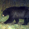 A black bear is photographed by one of forty motion-activated cameras that were set up on undeveloped land west of Boulder and around Lyons in late September and early October. The cameras are part of a larger study of bobcats in the area by Jesse Lewis, a doctoral student at Colorado State University. Lewis said the cameras have already captured thousands of photos.