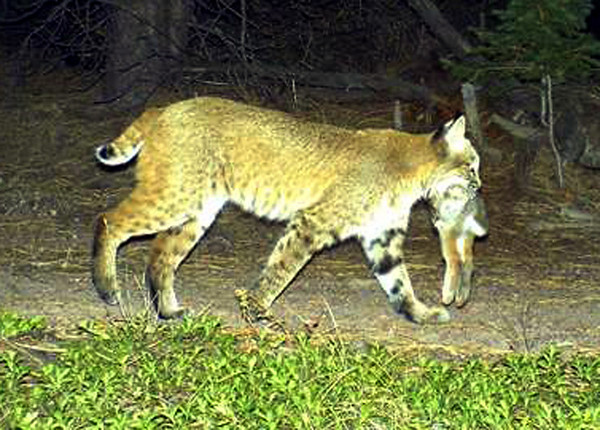 A bobcat with a rabbit prey is photographed by one of forty motion-activated cameras that were set up on undeveloped land west of Boulder and around Lyons in late September and early October. The cameras are part of a larger study of bobcats in the area by Jesse Lewis, a doctoral student at Colorado State University. Lewis said the cameras have already captured thousands of photos.
